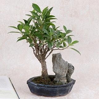 Japon ağacı Evergreen Ficus Bonsai  Burdur çiçek gönderme sitemiz güvenlidir