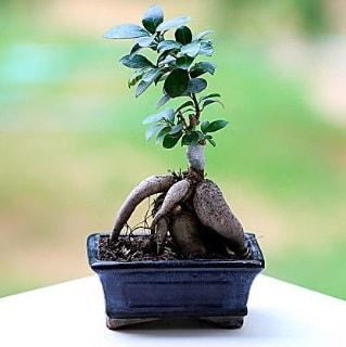 Marvellous Ficus Microcarpa ginseng bonsai  Burdur çiçek siparişi vermek
