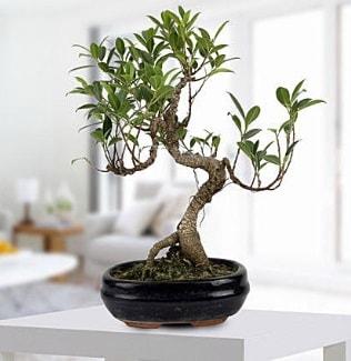 Gorgeous Ficus S shaped japon bonsai  Burdur yurtiçi ve yurtdışı çiçek siparişi