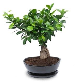 Ginseng bonsai ağacı özel ithal ürün  Burdur internetten çiçek satışı