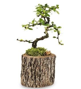 Doğal kütükte S bonsai ağacı  Burdur çiçek satışı