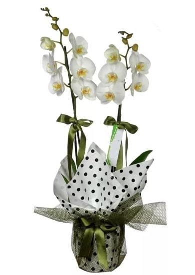 Çift Dallı Beyaz Orkide  Burdur 14 şubat sevgililer günü çiçek
