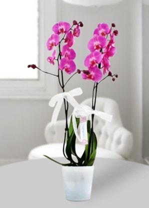Çift dallı mor orkide  Burdur çiçekçiler