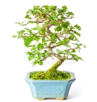 S zerkova bonsai kısa süreliğine  Burdur İnternetten çiçek siparişi