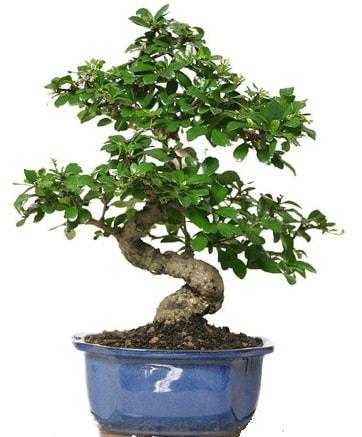 21 ile 25 cm arası özel S bonsai japon ağacı  Burdur çiçekçi telefonları