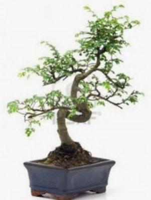 S gövde bonsai minyatür ağaç japon ağacı  Burdur çiçek satışı