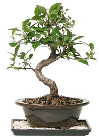 Altın kalite Ficus S bonsai  Burdur çiçekçi telefonları  Süper Kalite