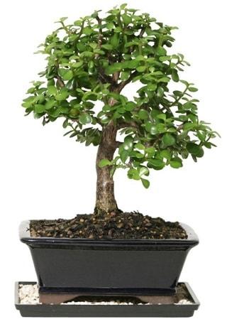15 cm civarı Zerkova bonsai bitkisi  Burdur çiçek siparişi sitesi