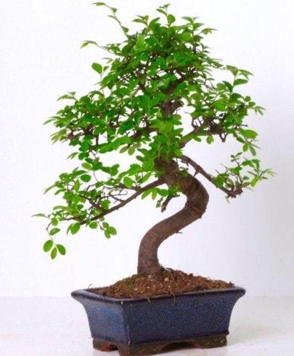 S gövdeli bonsai minyatür ağaç japon ağacı  Burdur çiçek gönderme sitemiz güvenlidir