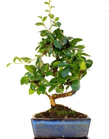 S gövdeli carmina bonsai ağacı  Burdur çiçek yolla  Minyatür ağaç