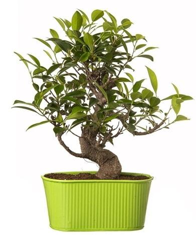 Ficus S gövdeli muhteşem bonsai  Burdur çiçek siparişi sitesi