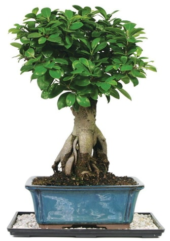 Bonsai Ginsing Grafted Ficus Bonsai  Burdur çiçek yolla