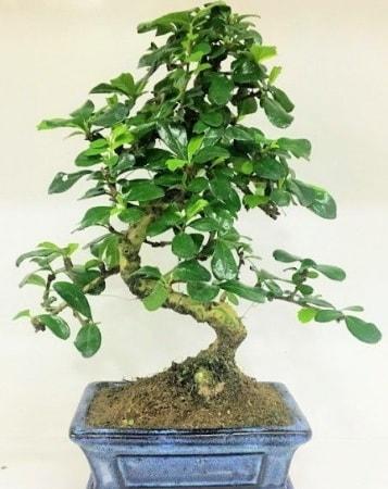 Zelkova S gövdeli Minyatür ağaç Bonzai  Burdur çiçek gönderme