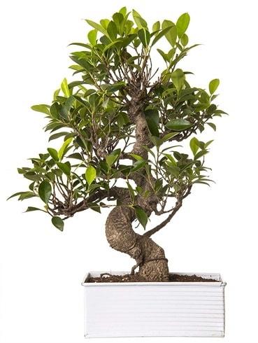 Exotic Green S Gövde 6 Year Ficus Bonsai  Burdur çiçek gönderme sitemiz güvenlidir