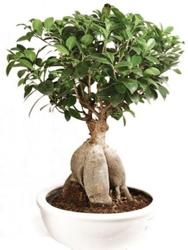 Ginseng bonsai japon ağacı ficus ginseng  Burdur İnternetten çiçek siparişi