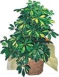 Burdur internetten çiçek siparişi  Schefflera gold